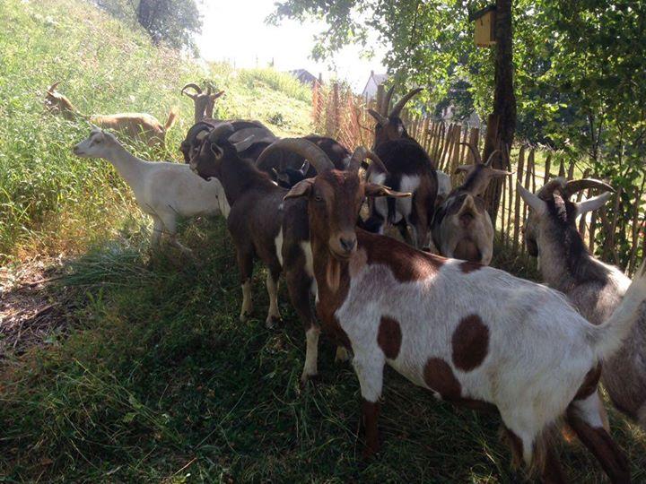 die Vorbereitungen sind im vollen unsere fleißigen Ziegen sind auch wieder da Basberg freut…